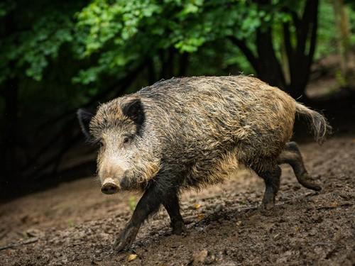 Peste porcine africaine – prolongation des mesures existantes